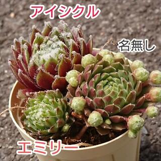 多肉植物 センペル3種類セット(その他)