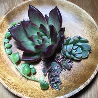 多肉植物 エボニー ブラックライン、七福美尼、斑入りグリーンネックレス(その他)
