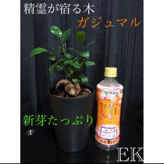 【EK】男前ガジュマルくん^o^「多幸の木」「幸せを呼ぶ木」黒鉢(その他)