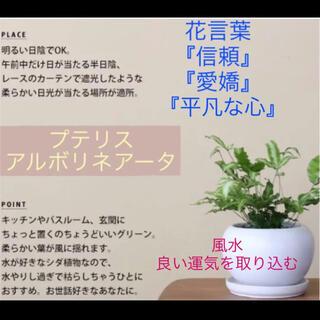 【512】浴室のグリーンにオススメ♪ 繁殖力旺盛☆プテリス 極上斑入り 抜き苗(その他)