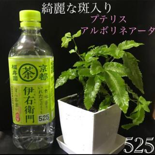 【525】浴室のグリーンにオススメ♪ 繁殖力旺盛☆プテリス 綺麗な斑入り 抜き苗(その他)