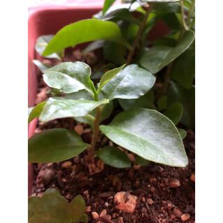 健康野菜 オカワカメ 緑のカーテン (野菜)