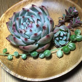 多肉植物 コロラータ、七福美尼、斑入りグリーンネックレス❣️(その他)