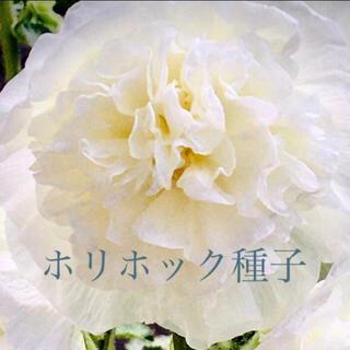 ホリホック☆タチアオイ☆白八重咲き☆ホワイトガーデン(その他)