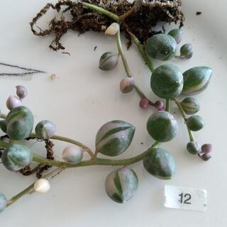 ⑫ 白玉 ピンク 大きい玉 グリーンネックレス斑入り 苗 寄せ植え(その他)