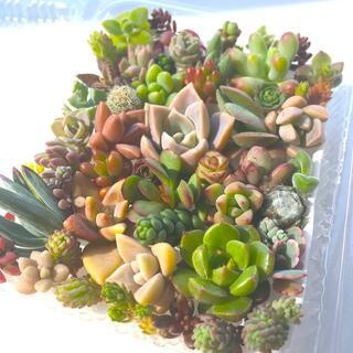 多肉植物 セダム⭐︎その他カット苗パック 15種類以上 11(その他)