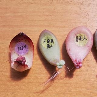 お得★葉挿し5枚セット エケベリア 多肉植物(その他)