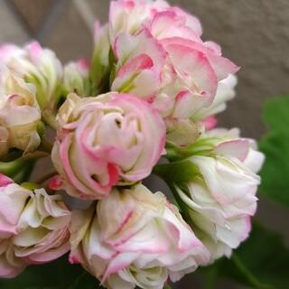 薔薇咲きゼラニウムのカット苗☆1本(その他)