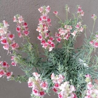 ピンクのお花(その他)