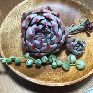 多肉植物 コロラータ、七福美尼小、斑入りグリーンネックレス(その他)