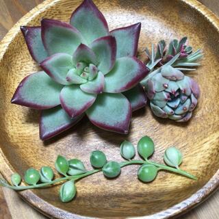 多肉植物 エボニーブラックライン、七福美尼、斑入りグリーンネックレス(その他)