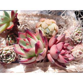 エケベリア⭐韓国苗寄せ植え詰め合わせまとめ売りセットホワイトミニマロメオエボニー(その他)