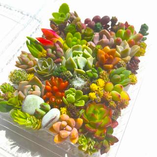 多肉植物 セダム⭐︎その他カット苗パック 15種類以上 13(その他)