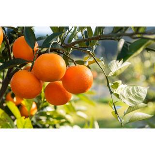 ブラッドオレンジ 優品 10キロ(フルーツ)