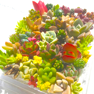 多肉植物 セダム⭐︎その他カット苗パック 15種類以上 14(その他)