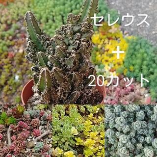 多肉植物 セレウス抜き苗(その他)