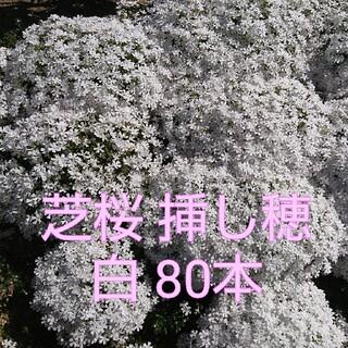 芝桜 挿し穂 白 80本(その他)