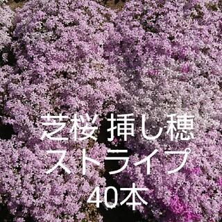 芝桜 挿し穂 ストライプ 40本(白+ピンク20本、ストライプ20本)(その他)
