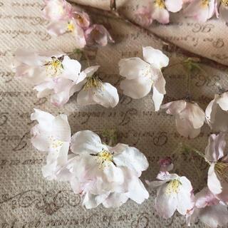 令和3年 ドライフラワー ソメイヨシノ 桜 さくら 房①(ドライフラワー)