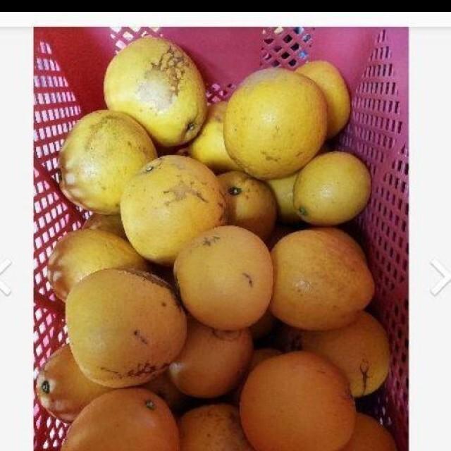 熊本県産 河内晩柑 10キロサイズミックス 食品/飲料/酒の食品(フルーツ)の商品写真