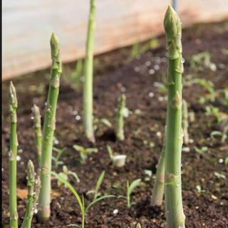 タイムセール‼️アスパラガス 種50粒(野菜)