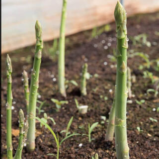 残り僅か‼️アスパラ 種50粒(野菜)