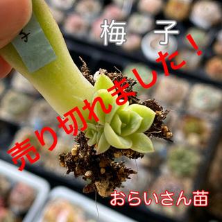 多肉★おらいさん★梅子★葉挿し(2頭)