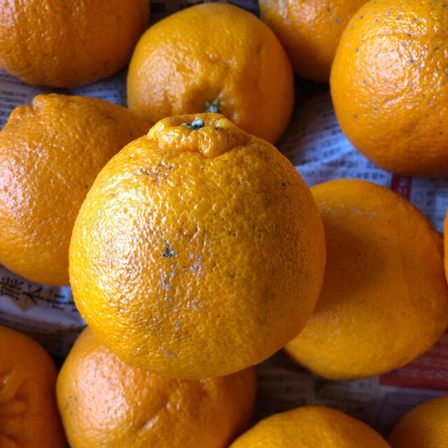 不知火B級品 10キロ 即購入OK 食品/飲料/酒の食品(フルーツ)の商品写真