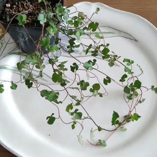 10 スペードワイヤープランツ 苗 寄せ植え(その他)