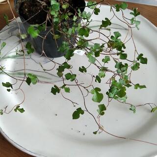⑫ スペードワイヤープランツ 苗 寄せ植え(その他)