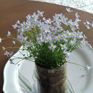 ④ ヒナソウ むらさきの花 苗 寄せ植え(その他)
