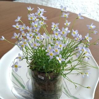 ⑬ ヒナソウ 苗 むらさきの花 寄せ植え (その他)