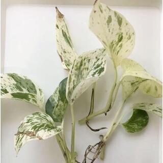 ★①訳アリ特価★ポトス マーブルクィーン 斑入り 観葉植物 抜き苗(その他)