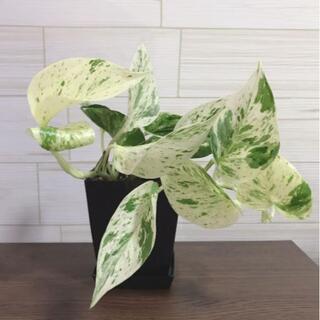 ポトス マーブルクィーン マーブルクイーン 斑入り 観葉植物(その他)