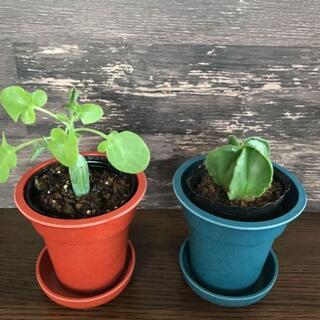 鸞鳳玉(ランポー)・七宝樹 サボテン 多肉植物 ミニ観葉植物 アストロフィツム(その他)