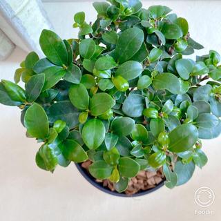 空気清浄樹【送料込】* ガジュマル(黒い器入り) * 観葉植物 #アーキレイ(その他)