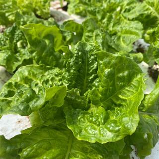 無農薬、化成肥料不使用 リーフレタス (野菜)