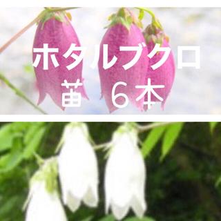 ホタルブクロ 苗 6本 白と赤紫(その他)