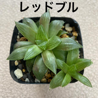 多肉植物 ハオルチア レッドブル2株(その他)
