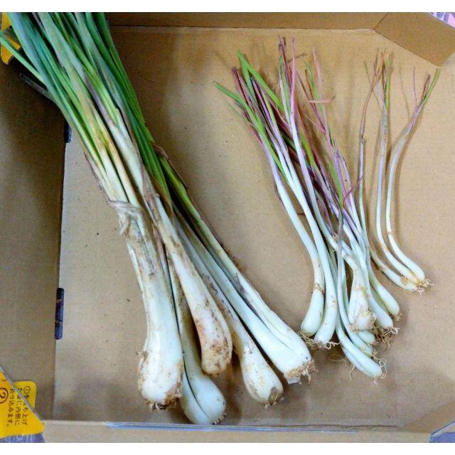 沖縄本島産 島らっきょうの種苗 100本 食品/飲料/酒の食品(野菜)の商品写真