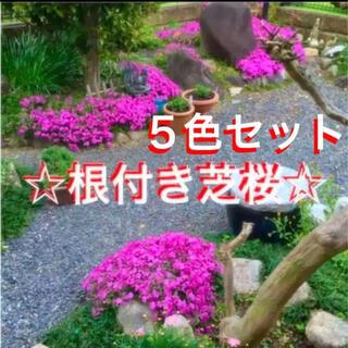 ☆もう咲き始めた☆希少な5色セット❣️根付き苗☆芝桜☆初心者向け☆(プランター)