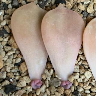 パープルディライト 2株 葉挿し 多肉 多肉植物(その他)