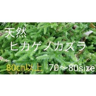 ヒカゲノカズラ【箱70~80サイズ】シダ植物 苔(その他)