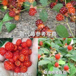 ⭐️木苺苗3種類3株セット⭐️苦苺&苗代苺&草苺の抜き苗¥1000→¥850(その他)