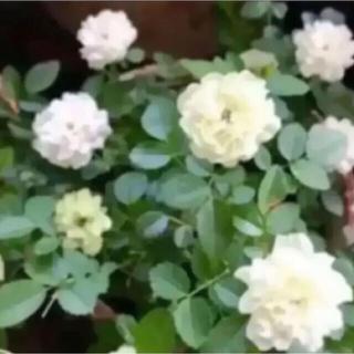 F(ᵔᴥᵔ)グリーンアイス ミニバラ 挿し穂苗 発根♡ホワイトガーデン♡(その他)