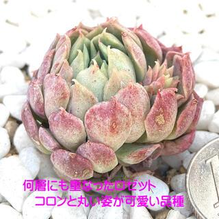 微根発根済‼️特価‼️美苗‼️輸入苗‼️多肉植物 エケベリア レッドホール7(その他)