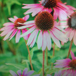 みよ様専用エキナセア種50以上と別種類の花の種2種(プランター)
