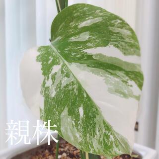 観葉植物 モンステラ アダンソニー ボルシギアナ ホワイトタイガー 斑入り 茎(その他)