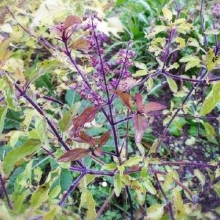 クリシュナトゥルシーの種 20粒以上(野菜)