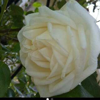 ホワイト薔薇抜き苗(その他)